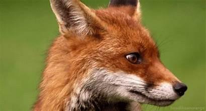 Wildlife Mammals Wild Animals Fox Nature