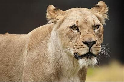 Neka Lion Female African Tags