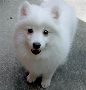 Pics For > Japanese Spitz Brown