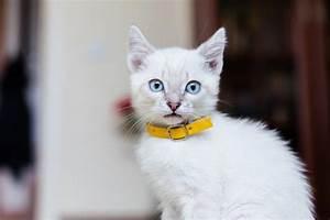 Site De Discussion : pourquoi mettre un collier un chat wikichat ~ Medecine-chirurgie-esthetiques.com Avis de Voitures