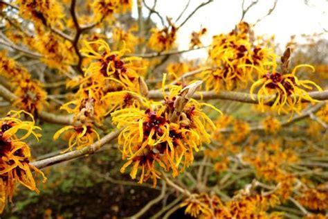 witch hazel tree varieties hybrid witch hazel i love flowers pinterest