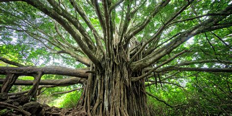 bodhi tree images why bodhi tree the bodhi tree foundation