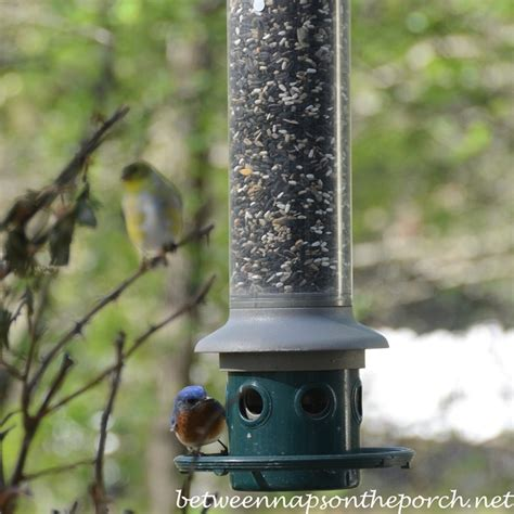 pileated woodpecker feeder pileated woodpecker visits suet feeder in backyard