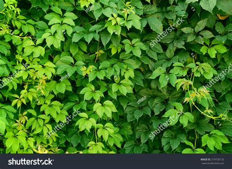 Green Climbing Plant Full Screen Background Stock Photo