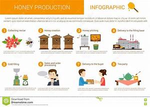Honey Production Stages In Infographic Form Stock Vector ...