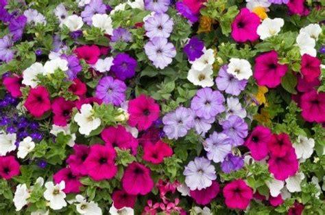 flowers petunias petunia desktop hq flower wallpapers hd desktop wallpaper collections