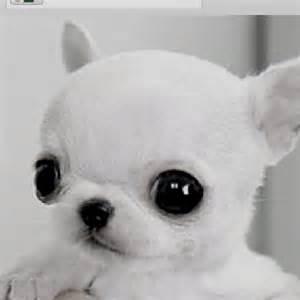 Apple Head Chihuahua Babies