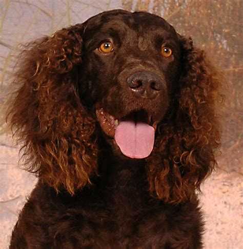 american water spaniel luv  dogs