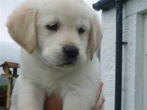 Dogs Golden Retriever Lab