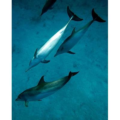 Atlantic Spotted Dolphin – Stenella frontalis - Aquatic