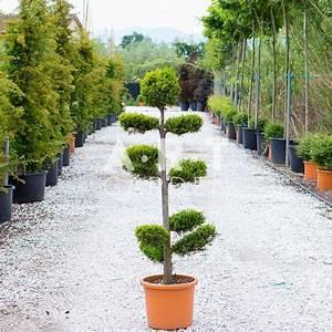 Arbre En Nuage : arbre nuage cupressus leylandii prix grossistes ~ Melissatoandfro.com Idées de Décoration