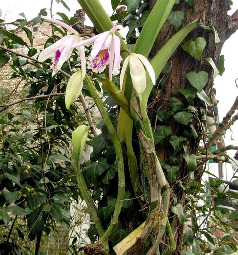 Orchidee Come Curarle In Appartamento by Piante Orchidee Piante Di Orchidee Orchidee Piante Orchidee