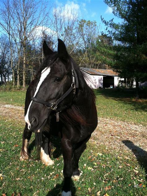 friesian horse shire cross crosses draft horses