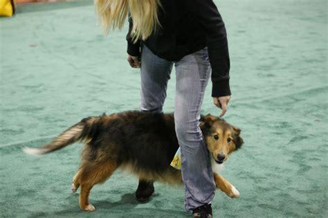 shetland sheepdog shed shetland sheepdog breed talent hounds