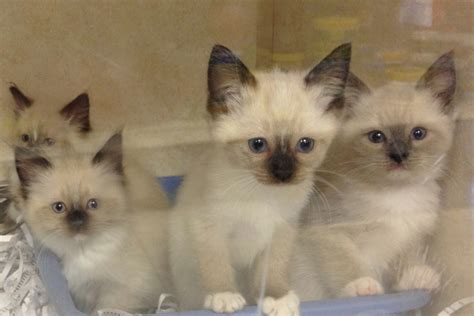 Ragdoll Mix by Kittens The House Etc