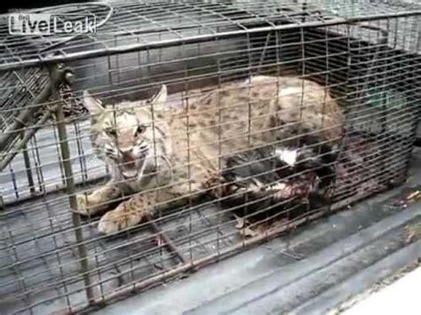 bobcat  scary sounds wow video ebaums world