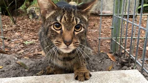 Another Unwanted Savannah Cat Gets A Forever Home Youtube