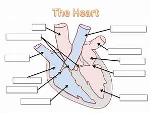 Heart Diagram For Kids