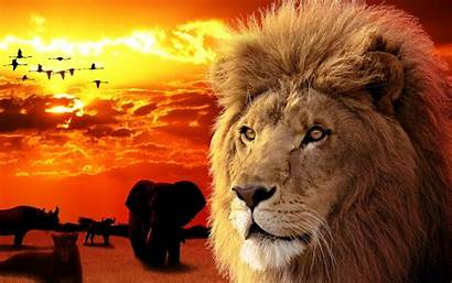 Lion Wallpapers King Backgrounds Downloads Psd Graphic