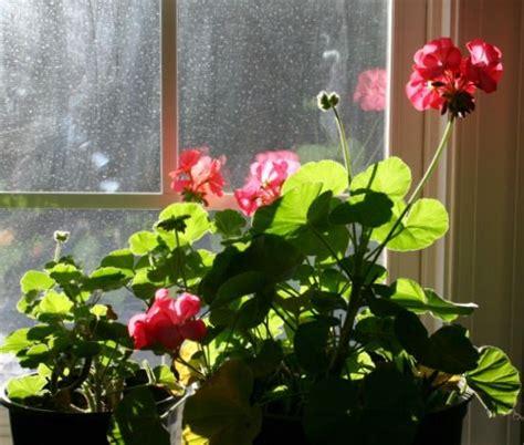 geranium indoors 1000 images about geraniums pelargonium ii on pinterest gardens window boxes and cottages