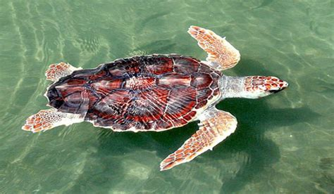 species  sea turtles living   oceans
