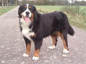 Berner Sennenhund Gewicht : flying dogs ~ Markanthonyermac.com Haus und Dekorationen