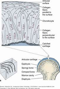 A  Articular Surfaces Of A Diarthrosis Are Made Of
