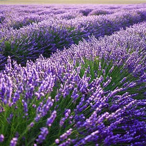 where to buy a lavender plant 25 best ideas about lavender plants for sale on pinterest buy lavender plants wreaths for