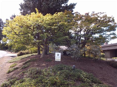 prune acer 1000 images about trees for portland landscaping on pinterest acer palmatum plum tree and