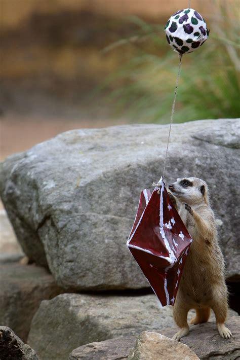 taronga zoo animals recieve christmas gifts