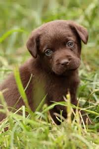 Chocolate Lab Puppies Names