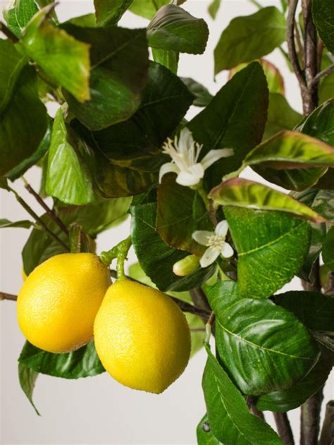 zitronenbaum pflege frische zitronen im topf wohnideen