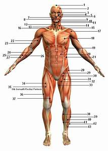 Muscular System Diagram Without Labels 2019