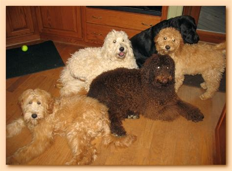 Do Aussiedoodles Shed Hair by Southern Charm Labradoodles American And Australian