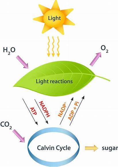 Photosynthesis Fotosintesis Reactions Diagram Cycle Proses Carbon