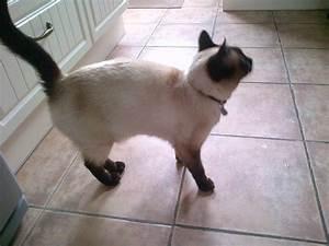 Beautiful Safire Chocolate Point Siamese Tabby Cat ...