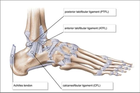 A tendon is a band of tissue that connects a the two peroneal tendons in the foot run side by side behind the outer a. Diagram - The Ankle