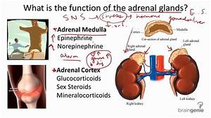 8 2 5 Adrenal Glands - Structure And Function