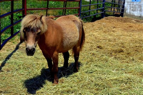 equine metabolic syndrome  horses symptoms