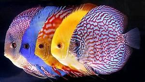 Pompadour Fish | Tropical Fish Keeping