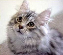 siberian cat breed cat information pictures