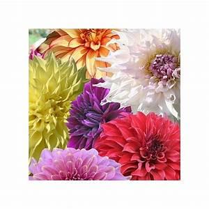 Arbustes Décoratifs à Fleurs : assortiment de 3 dahlias d coratifs fleurs g antes ~ Premium-room.com Idées de Décoration