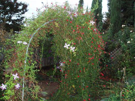 cardinal climber debbie s garden cardinal climber