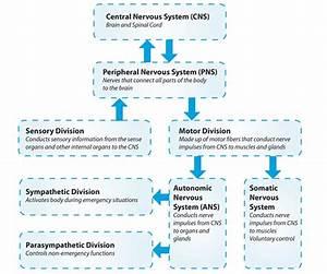 Central Nervous System Diagram Chart