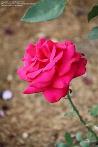 Plantfiles Pictures  Hybrid Tea Rose  U0026 39 Mister Lincoln