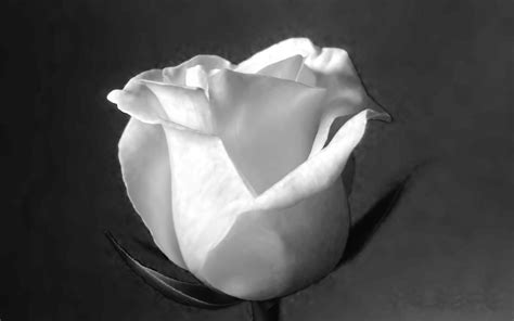 black  white rose wallpaper  wallpapersafari