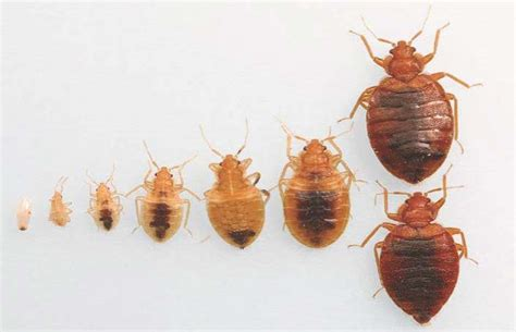 what color are bed bugs 11 bed bugs facts you need to to defeat them pest hacks