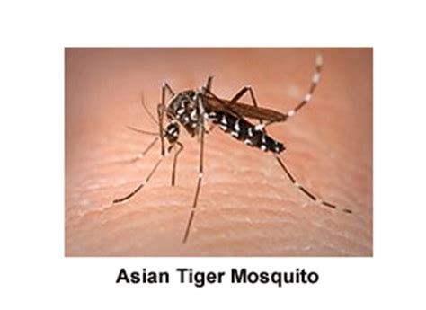 mosquito plant scientific name top 30 most common bugs in florida bugofff com