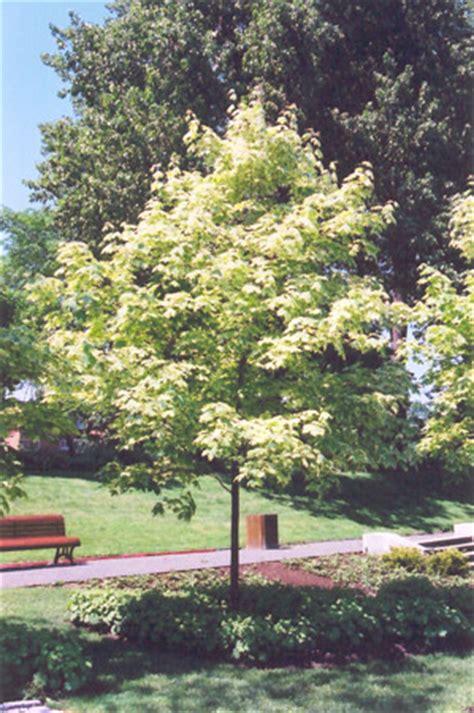 varigated maple tree variegated norway maple acer platanoides variegatum in st paul minneapolis inver grove eagan
