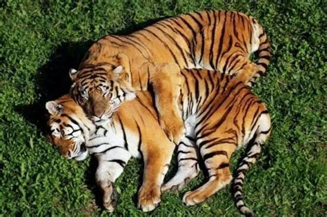 Tigers Are Solitary Animals Only The Breeding Season